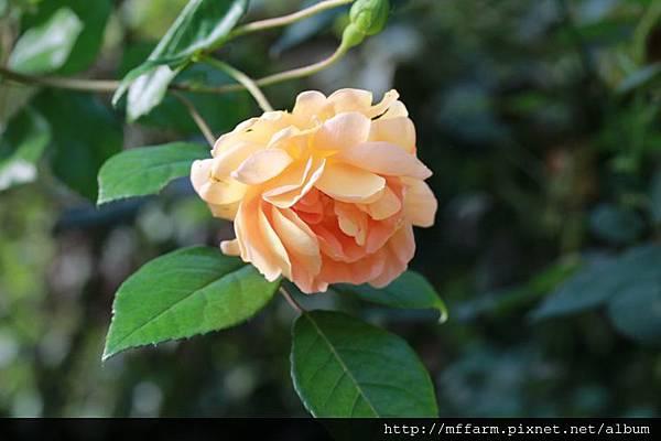 140727溫帶花卉區  玫瑰 (2)