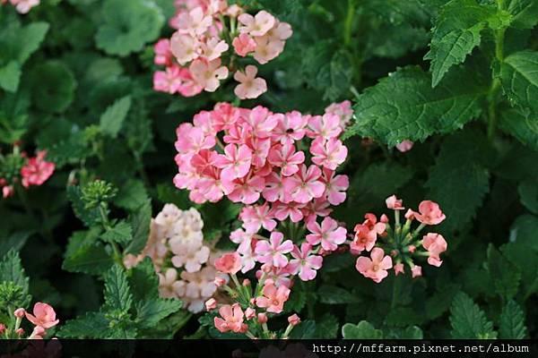140727溫帶花卉區  懸垂美女櫻1 (4)