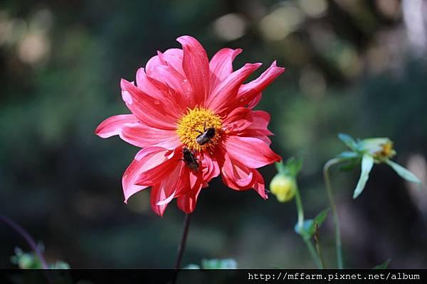 140727溫帶花卉區  熊蜂與大裡花 (2)