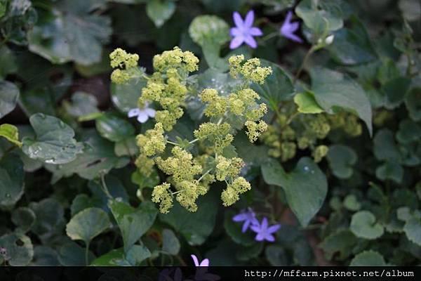 140727溫帶花卉區  斗蓬草