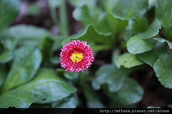 140727溫帶花卉區 小雛菊