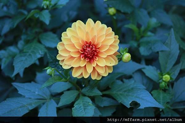 140727溫帶花卉區 大理花3