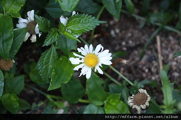 140727溫帶花卉區 西洋濱菊