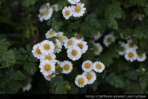 140727溫帶花卉區 小白菊