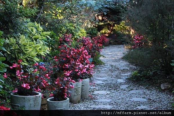 140727溫帶花卉區 巨星秋海棠