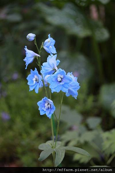 140727溫帶花卉區 大飛燕草