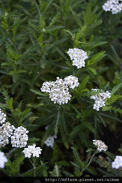 140727溫帶花卉區 西洋蓍草