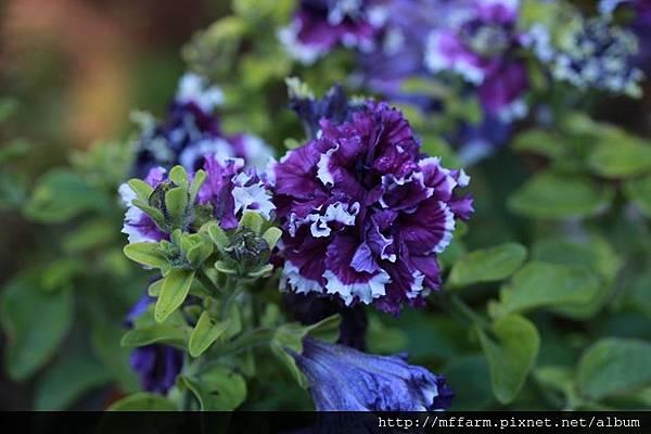 140727溫帶花卉區 洋桔梗