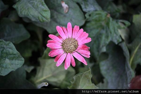 140727溫帶花卉區 非洲菊