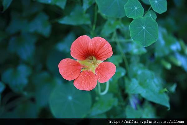 140727溫帶花卉區 金蓮花