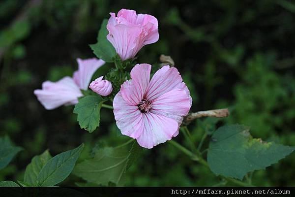 140727溫帶花卉區 花葵