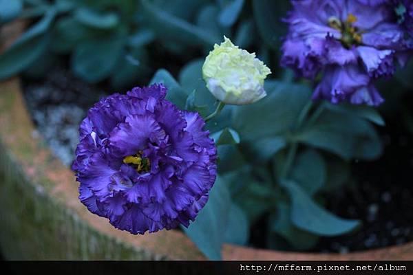 140727溫帶花卉區 洋桔梗 (1)