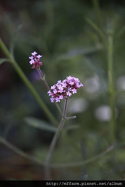 140727溫帶花卉區 柳葉馬鞭草