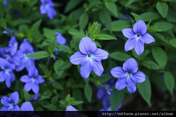 140727溫帶花卉區 紫水晶2 (3)