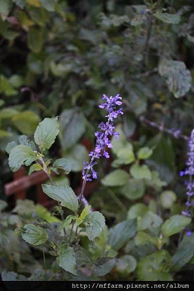 140727溫帶花卉區 紫雲鼠尾草