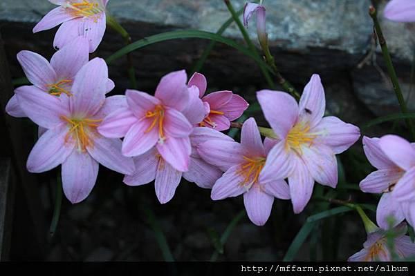 140727溫帶花卉區 韭蘭