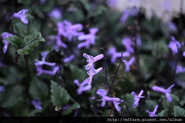 140727溫帶花卉區 紫鳳凰