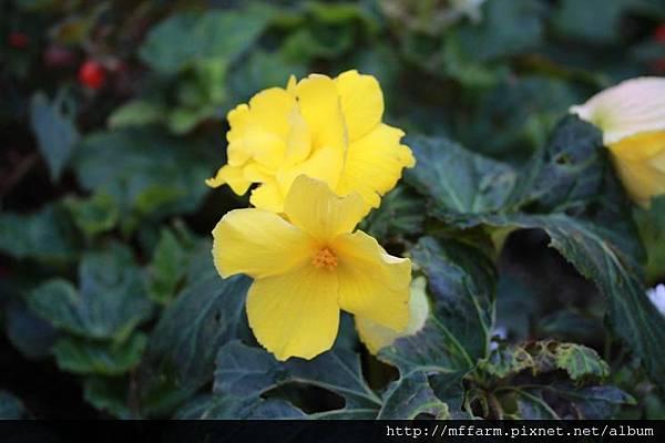 140727溫帶花卉區 球根秋海棠