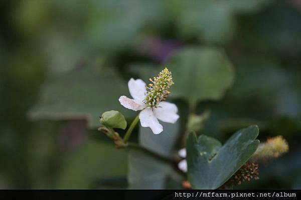 140727溫帶花卉區 魚腥草