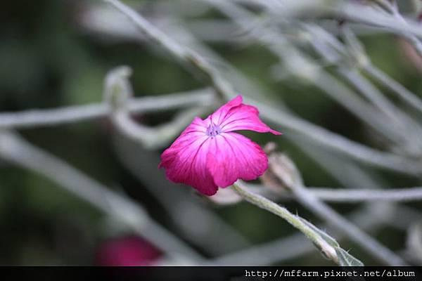 140727溫帶花卉區 繁縷