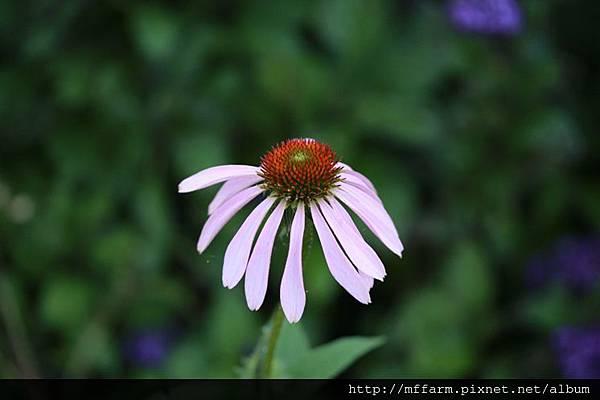 140727溫帶花卉區 紫錐花 (1)