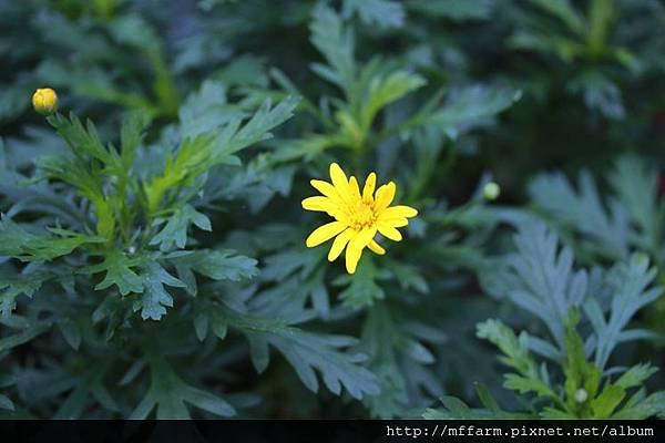 140727溫帶花卉區 黃翠菊