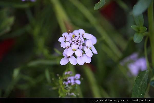 140727溫帶花卉區 蜂室花