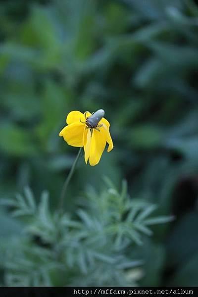 140727溫帶花卉區 墨西哥帽 (2)