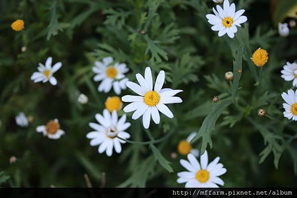140727溫帶花卉區 瑪格麗特