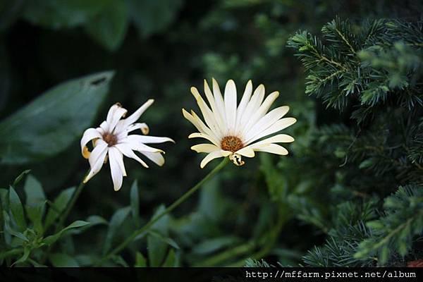 140727溫帶花卉區 藍眼菊