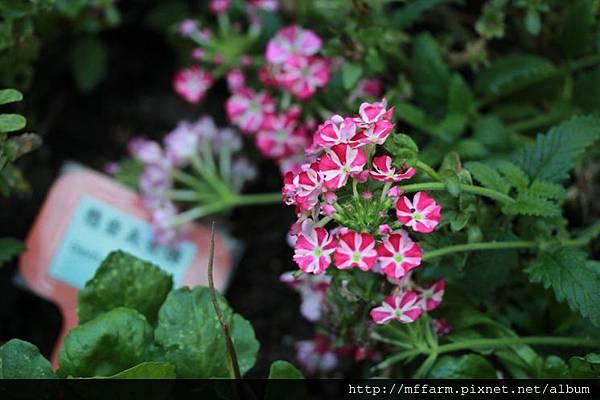 140727溫帶花卉區 懸垂美女櫻