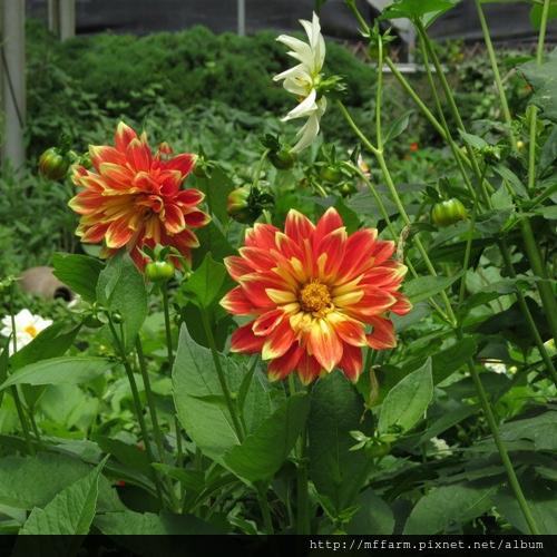 140717溫帶花卉區 大理花