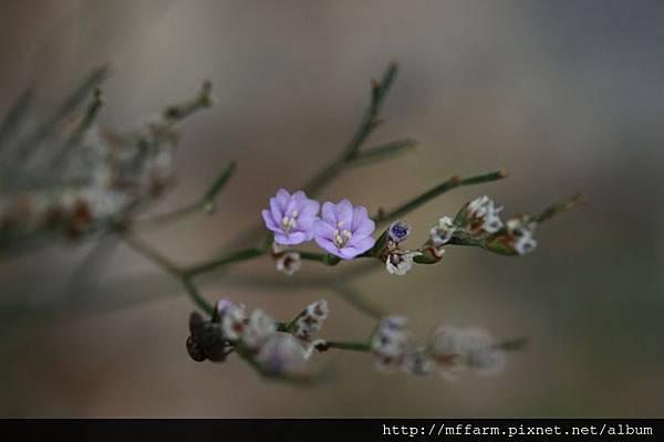 140926溫帶花卉區 磯硹