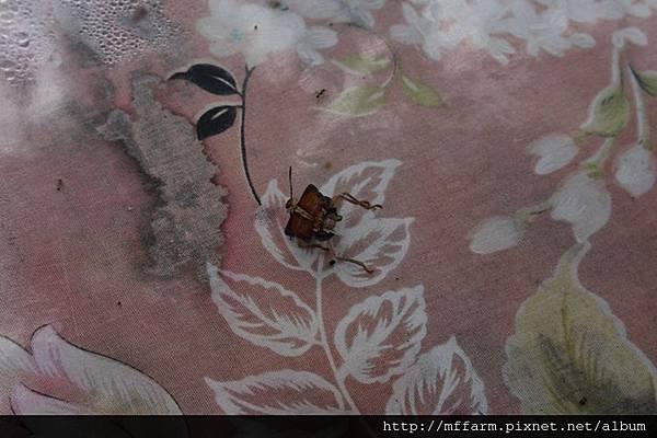 130815南庄老街 被螞蟻的椿象 (2)