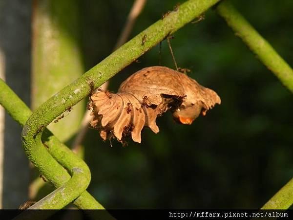 130828蘿蔔坑 螞蟻攻擊鳳蝶蛹 (1)