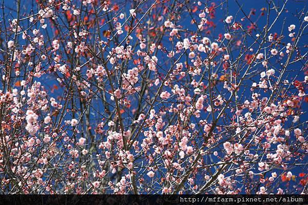 梅花朵朵-見驚梅