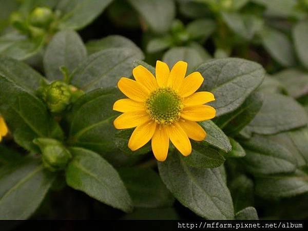 080522聖吉爾根 菊花1