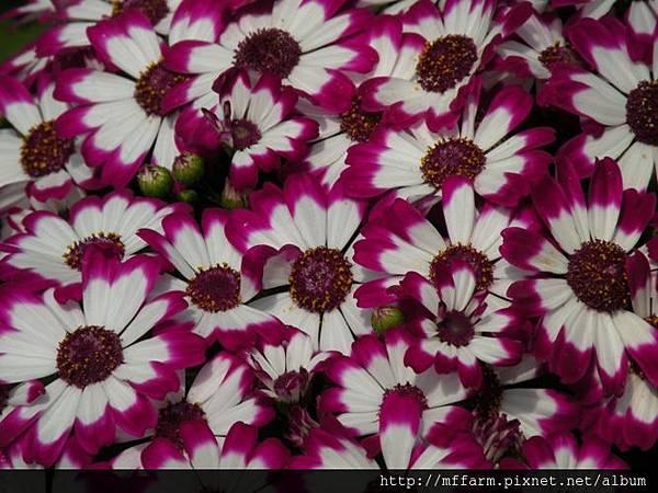 100304溫帶花卉區 瓜葉菊