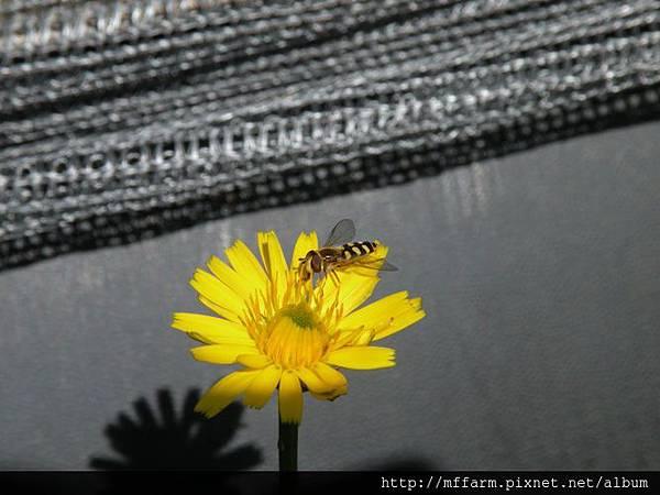 110529貓兒菊上的食蚜蠅