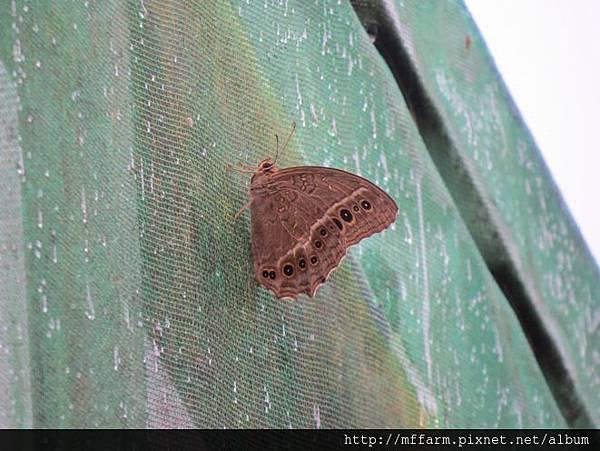 褐翅蔭眼蝶IMG_9394