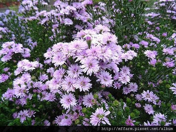 紫孔雀(孔雀菊)