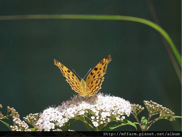 黃鉤蛺蝶(黃蛺蝶)1