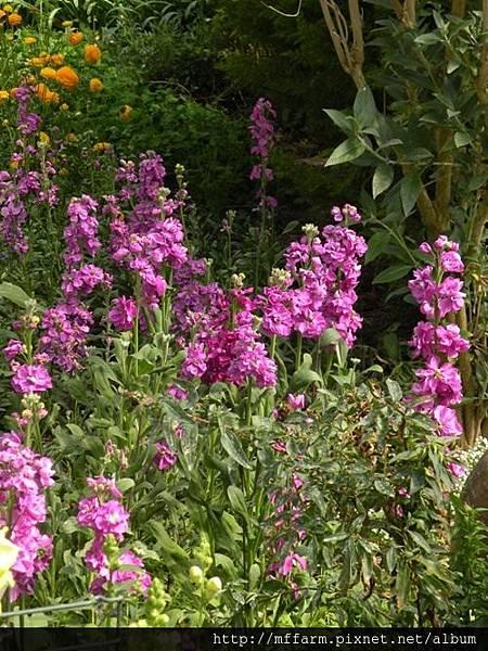 130223溫帶花卉區 紫羅蘭