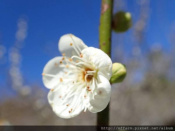 拍攝地點: 梅峰-梅園 拍攝植物:綠萼梅 拍攝日期: 2017_02_15_Su