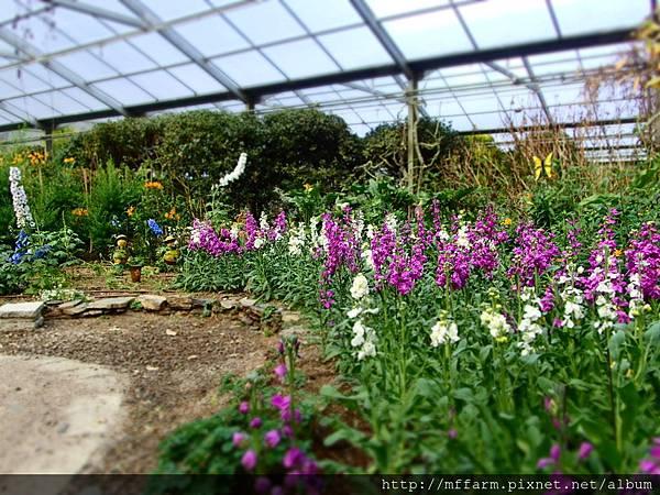拍攝地點: 梅峰-溫帶花卉區 拍攝植物:紫羅蘭 拍攝日期: 2017_02_15_Su