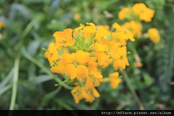 大橙黃花 (2)