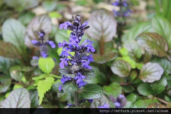 紫唇花 (2)