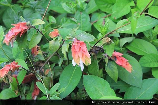 紅蝦花 (1)