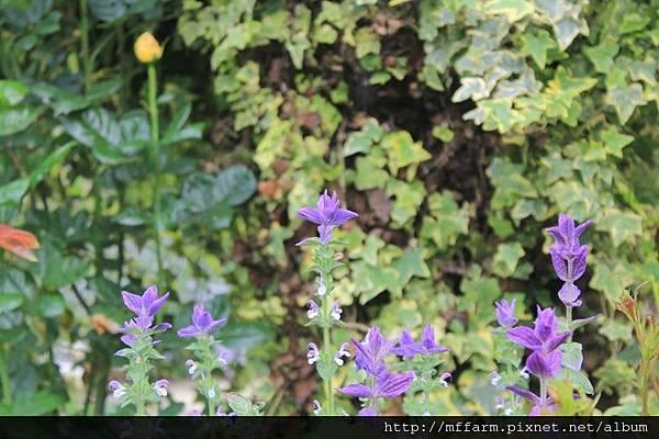 彩苞鼠尾草