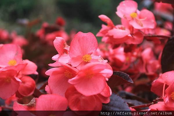四季秋海棠 (2)